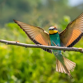 Landing by Andrej Kozelj - Animals Birds ( fly, nature, flying, bird, animal, animals, birds, wild, wildlife )
