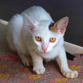 kitty by SANGEETA MENA  - Animals - Cats Portraits