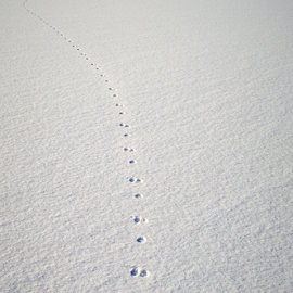Animal traces in fresh loose snow by Roberto Sorin - Nature Up Close Water ( nobody, ten, foot, loose, footmarks, nature, cold, snow, trail, empty, diagonal, light, footsteps, cool, wild, texture, white, shape, trek, winter, season, outdoors, hunting, shade, softness, snowdrift, walk, go, rabbit, footpath, ground, footprint, landscape, frozen, fresh, ice, sunny, path, animal, abstract, pathway, trace, beautiful, track, print, field, footprints, fluffy, route, background, outdoor, step,  )