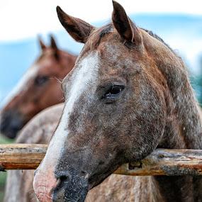 Alibi Head Portrait by Twin Wranglers Baker - Animals Horses (  )