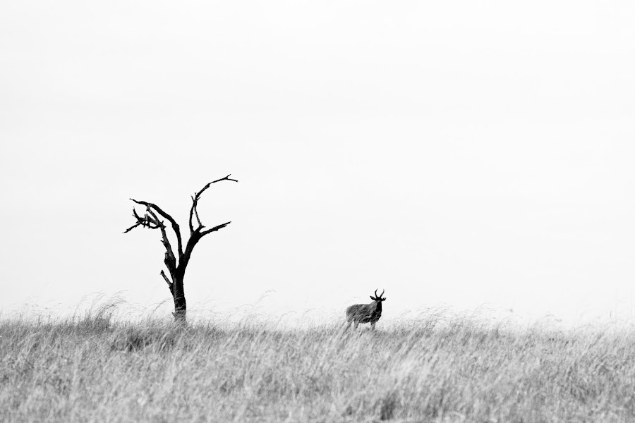 Lone Tree by VAM Photography - Landscapes Prairies, Meadows & Fields ( b&w, tree, serengeti, tanzania, landscape, animal )