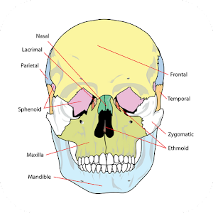 Anatomy Atlas Free