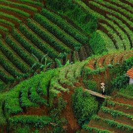 Terasering majalengka by Einto R - Landscapes Prairies, Meadows & Fields ( westjava, majalengka, nature, indonesia, paradise )
