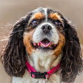 Bridget by Dave Lipchen - Animals - Dogs Portraits ( bridget, king charles spaniel )