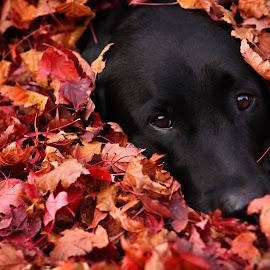 My Love by Pam  Kipper Gabriel - Animals - Dogs Portraits ( canine, pooch, black lab, labrador, dog,  )