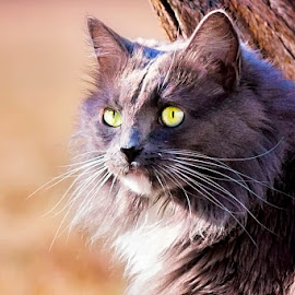 Leroy Pose by Sabrina Causey - Animals - Cats Portraits ( cat, fur, grey, mammal, eyes, animal )