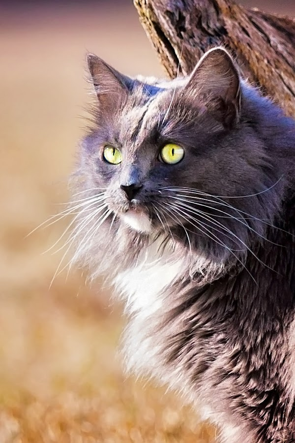 Leroy Pose by Sabrina Causey - Animals - Cats Portraits ( cat, fur, grey, mammal, eyes, animal )