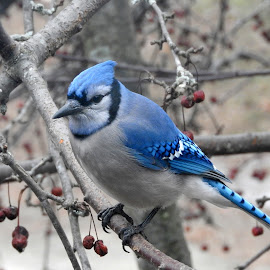 Bluejay in winter by Kim Jones - Animals Birds ( bird, tree, bluejay )
