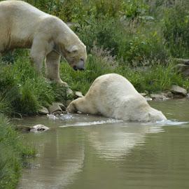 did you push me by Karen Goeman - Animals Other ( water, bears, polar bear )