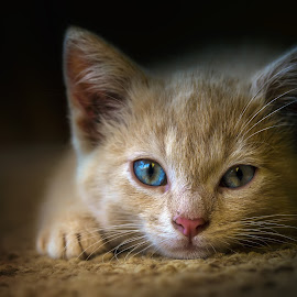 midday siesta by BO LED - Animals - Cats Kittens ( portait, kitten, cat, color, animal )