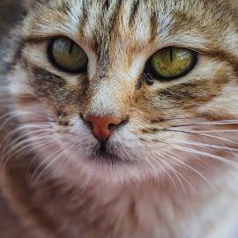 Kitty by SAJEEV ABRAHAM - Animals - Cats Portraits ( kiiten, cat, brown, golden, portrait,  )
