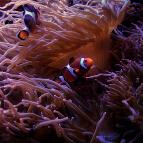 I Found Nemo! by Liz Pascal - Nature Up Close Other Natural Objects ( nemo, clownfish )