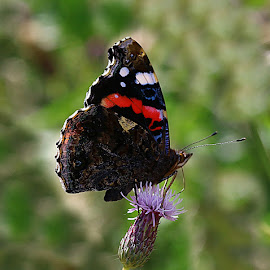 Feeding Red Admiral by Chrissie Barrow - Animals Insects & Spiders ( wild, butterfly, thistle, green, white, antennae, red admiral, insect, bokeh, red, wings, proboscis, brown, black, flower, animal )