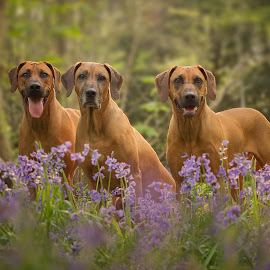 Rhodesian Ridgebacks in Bluebells by Linda Johnstone - Animals - Dogs Portraits ( ridgebacks, rhodesian ridgeback, animals, dogs, pets, trees, woodland, spring )
