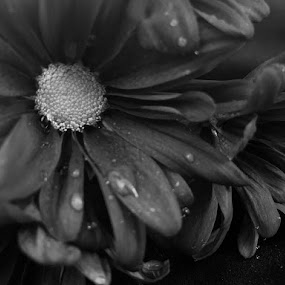 dropes  by Zahra  Alkhawaher  - Black & White Flowers & Plants
