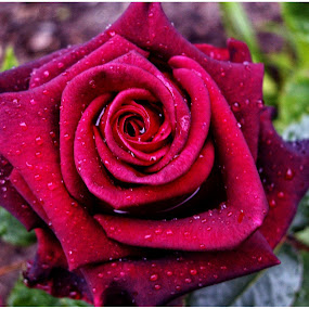 Red Rose by Doreen L - Flowers Single Flower ( garden flowers, red rose, raindrops, waterdrops )