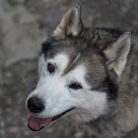 by Suzana Svečnjak - Animals - Dogs Portraits