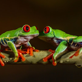 Eye to eye by Garry Chisholm - Animals Amphibians ( canon, studio, macro, red, nature, tree, frog, amphibian, garrychisholm, eye )
