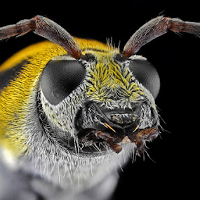Yellow-Black Longhorn by Donald Jusa - Animals Insects & Spiders ( longhorn, face, animals, 50mm, yellow, insects, beetle, eyes, macro, focus, reversed, nikon, closeup, black )