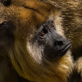Curious Young Howler by David Hammond - Animals Other Mammals ( animals, howler, nature, captive, mammal, monkey,  )