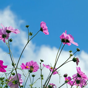 Blue & Pink Skies by Susan Foss - Nature Up Close Flowers - 2011-2013 ( sky, flowers )