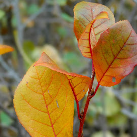Leaf Stems by Anwyn Robinson - Nature Up Close Leaves & Grasses ( colour, natural light, red, nature, outdoors, nature up close, lines, yellow, stem, leaf, natural, close up )