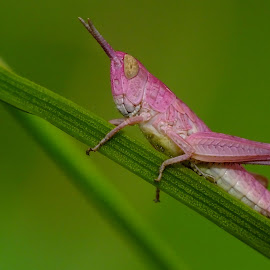 Grasshopper by Pat Somers - Animals Insects & Spiders