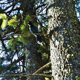 Jay by Shane Lusk - Novices Only Wildlife ( idaho, bird, rexburg, lodge pole, pine, jay )