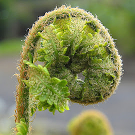 New Fern by Chrissie Barrow - Nature Up Close Other plants ( fern, nature, green, unfolding, round, spiral, leaves, bokeh, closeup )