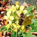 Syrphid Fly