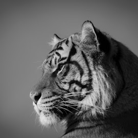 watching  by Tracy Morris - Black & White Animals