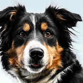 Yoshi by Marjan Smit - Animals - Dogs Portraits ( attentie, hond, tongue, tong, tri color, tricolor, driekleur, bordercollie, dog, attention )