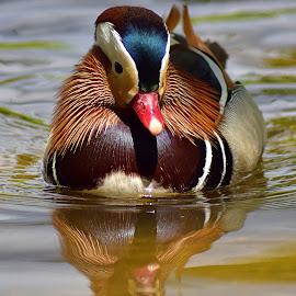 Mandarin Portrait by Shawn Thomas - Animals Birds ( water, reflection, fowl, mandarin, duck )