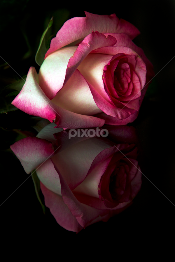 Rose in pink tone and reflection by Cristobal Garciaferro Rubio - Nature Up Close Flowers - 2011-2013 ( love, rose, detail, aroma, petals, texture, romantic, roses, flowers, flower, petal, reflection, reflections, people, places, architecture, building )