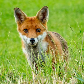 by Tony Walker - Animals Other Mammals ( wild, fox, garden, cub )