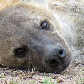 Hyena - You wake me up, for a photo? by Lanie Badenhorst - Animals Other Mammals