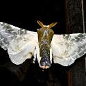 Colla rhodope, Moth