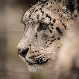 Snow Leopard by Robert Shipman - Animals Lions, Tigers & Big Cats