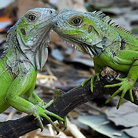 by ERFAN AFIAT SENTOSA - Animals Reptiles