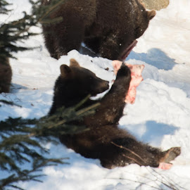 On the lunch by Dušan Gajšek - Animals Other ( medved, živali, bavarski gozd, narava )