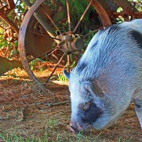 Piggy Smalls by Daryl Peck - Novices Only Pets ( swine, outdoor, farm, animal, novice, pet, pig )