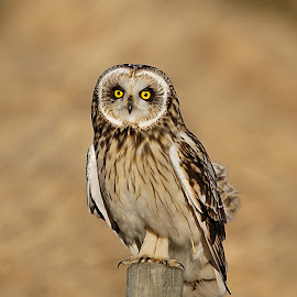Short-eared Owl by Hans Olav Beck - Animals Birds ( short-eared owl )