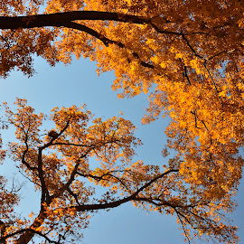 Golden Fall by Majid Uppal - Nature Up Close Trees & Bushes