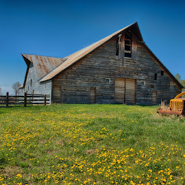 The Old Barn by Stacy White - Buildings & Architecture Other Exteriors ( old, dandelion, barn, weeds, dandelions, tractor )