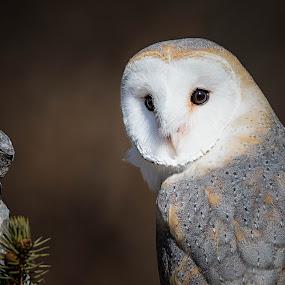 Michigan Barn Owl by Amy Ann - Animals Birds (  )