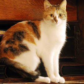 Callie the Calico by Bonnie Burgeson - Animals - Cats Kittens