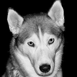 Ivy by Chrissie Barrow - Black & White Animals ( monochrome, black and white, pet, ears, fur, husky, dog, mono, nose, portrait, eyes, animal )