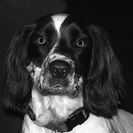 B&W Max by Chrissie Barrow - Black & White Animals ( monochrome, springer spaniel, black and white, pet, ears, dog, mono, nose, portrait, eyes, animal )