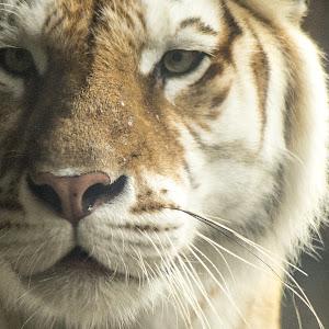 Busch tiger 2-1208.jpg