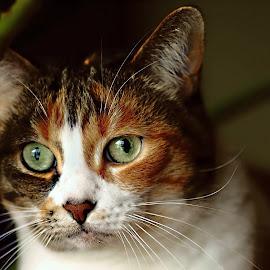 Scaredeecat by Ivan Cohene - Animals - Cats Portraits